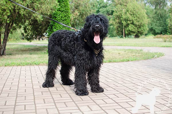 Black Russian Terrier black leather harness with reliable hardware for any activity