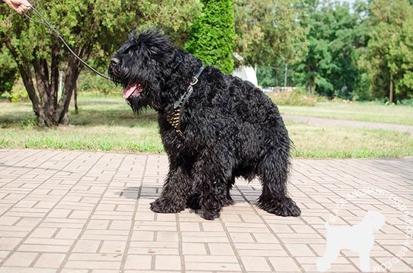 Black Russian Terrier black leather harness with durable fittings for improved control