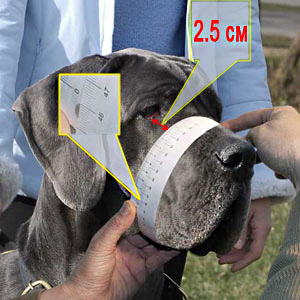 How to measure your dog's muzzle circumference